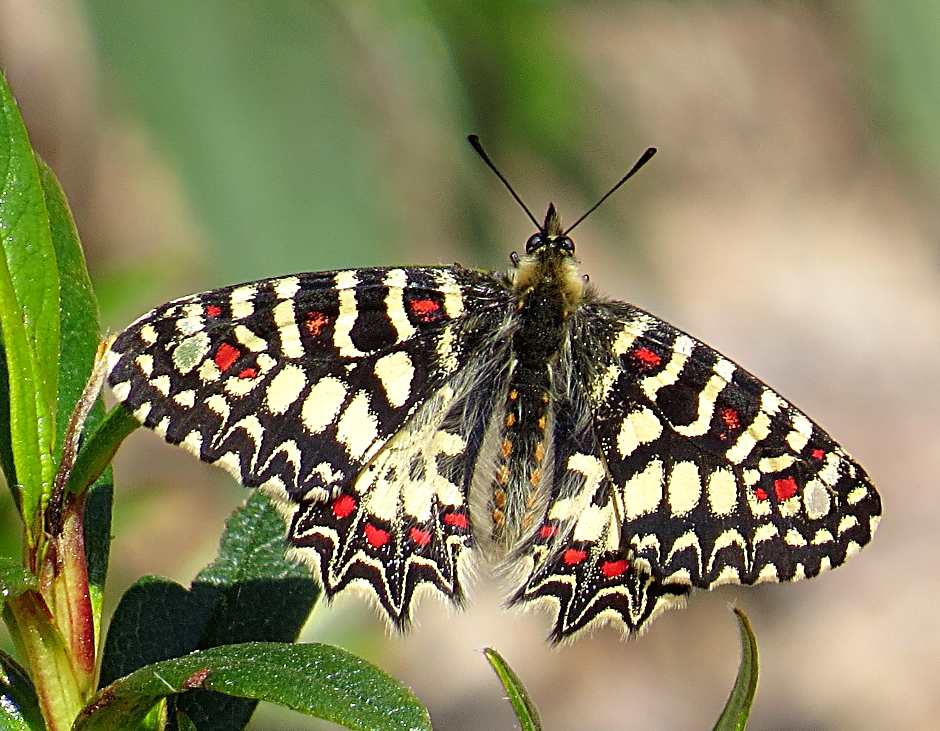 zerynthia rumina valorio 200314